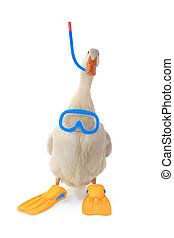 duck - isolated duck in sports equipment of the diving,...