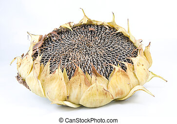 sunflower - image of a madure sunflower where seeds can be...