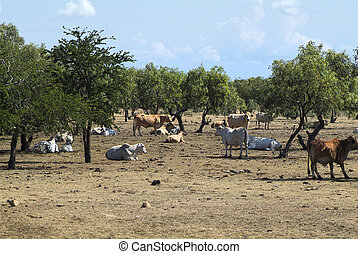 Australia, Northern Territory - Australia, cattle farm