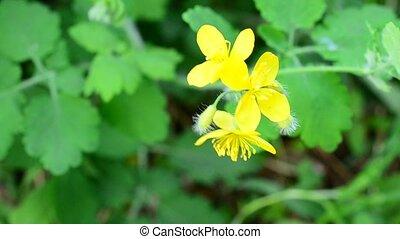 Greater celandine flower blown by wind in spring