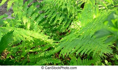 Wild fern swaying gently in wind in spring in a sunny day -...