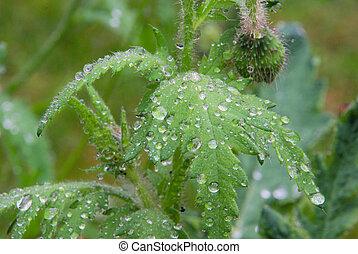 wet leaves from poppy 02