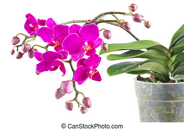 Bunch of violet orchids with green leaves in pot close up...