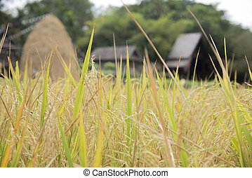 Fields of rice straw hut blurred background - Rice fields in...