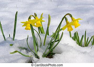 daffodil 05
