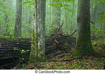Old hornbeam and spruce in misty forest - Two old trees in...
