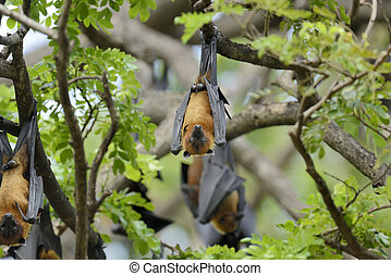 Flying fox - Black flying-foxes (Pteropus alecto) hanging in...