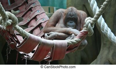 big monkey in hammock - Big serious monkey in hammock.