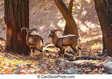 Moufflon - Wild moufflon in Cyprus