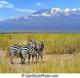 Zebra on the background of Mount Kilimanjaro
