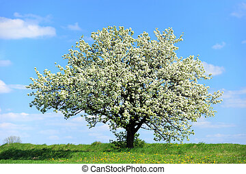 Blossoming tree in spring
