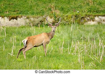 Deer - Wild red deer in nature