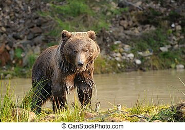 Bear - A brown bear in the lake