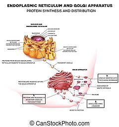 Endoplasmic reticulum and Golgi Apparatus. Protein synthesis...