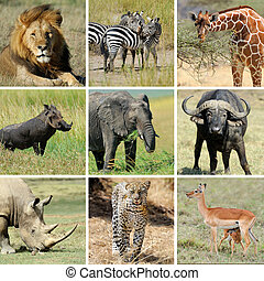African animal collage - Nine african animal collage Lion,...