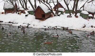 ducks on winter pond - Ducks on winter pond