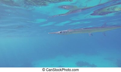 Sea pike or Garfish - Garfish swim near the surface