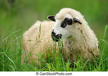 Sheep - White sheep in grass on a farm