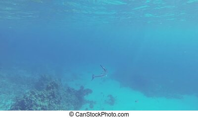 Garfish sea pike - Garfish - sea schooling fish family...