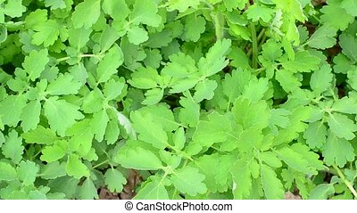 Lush green greater celandine blown by wind fills the frame