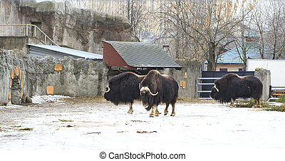 Herd of musk oxen in the paddock