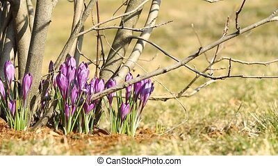 Beautiful violet crocuses with slider