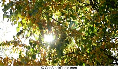 Sun rays come through yellow and green lime tree foliage -...
