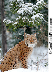 Lynx - Young lynx in winter forest
