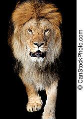 Porträt, löwe