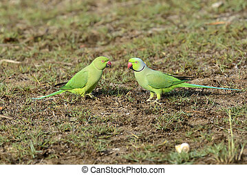 Rose-ringed Parakeet - Two Rose-ringed Parakeet. Sri lanka...