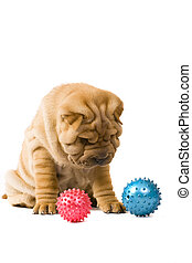 Sharpei dog - Funny sharpei puppy isolated on white...