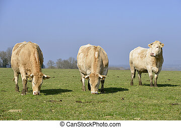 vacas, en, campo,