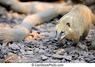 Nasua - The coati (Nasua) a predator from South America