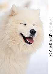 Samoyed portrait - Funny samoyed portrait on white