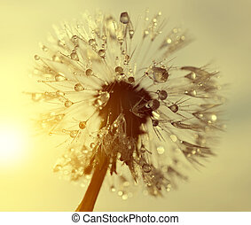 Dewy dandelion flower at sunrise close up. Natural...
