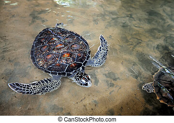 Turtle on the wild beach. Sri Lanka island