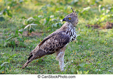 Changeable hawk-eagle on grass Sri lanka