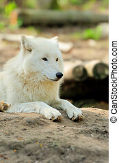 White wolf - Wild white wolf in the woods
