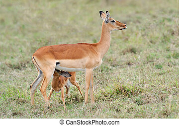 Baby impala with his mother - Impala young suckling from...