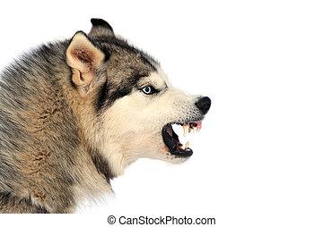 Angry dog - Angry siberian husky dog winter portrait