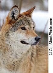 Wolf - Portrait wild wolf in winter