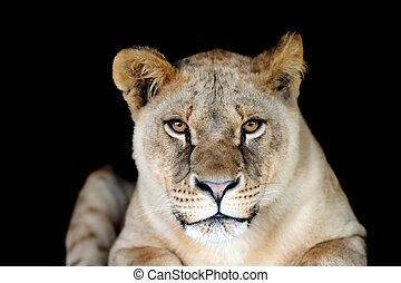 Lion portrait on dark background