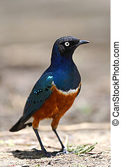 Superb Starling (Lamprotornis superbus) on the ground