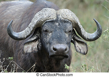 Buffalo - Wild African buffalo bull. Africa, Kenya