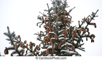 Pine branch with cones in winter