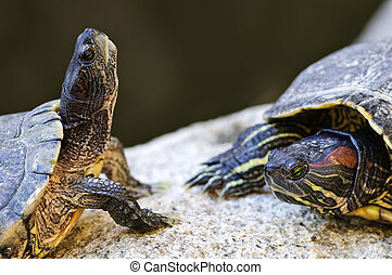 Red eared slider turtles - Two red eared slider turtles...
