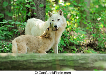 White wolf in forest