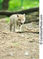 Arctic wolf puppy