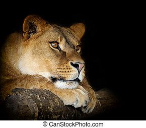 Lion on dark - Close-up lion female portrait on dark...