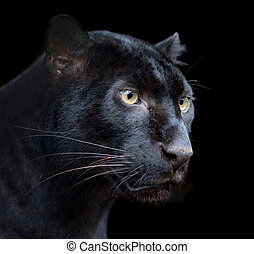 Black Panther - Beautiful black panther on dark bacground